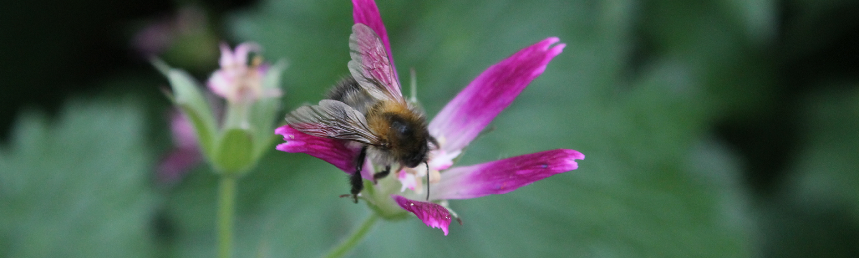 Bee on pink flower - photograph by Vikki Rose, Global Environmental Advisor (C Env MIEMA)