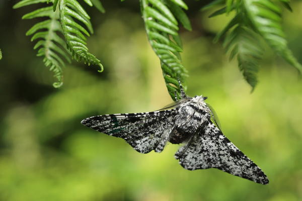 Photo of moth sitting on a leaf in a woodland habitat.