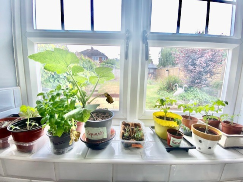 Photo of various vegetable plants and seedlings in pots on a windowsill