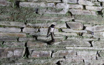 Swallow perching on a wall