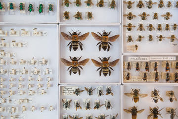 An assortment of bees in a display case at the Oxford University Museum of Natural History