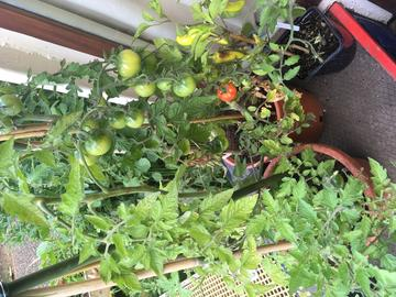 Photo of homegrown tomatoes and chillies in pots