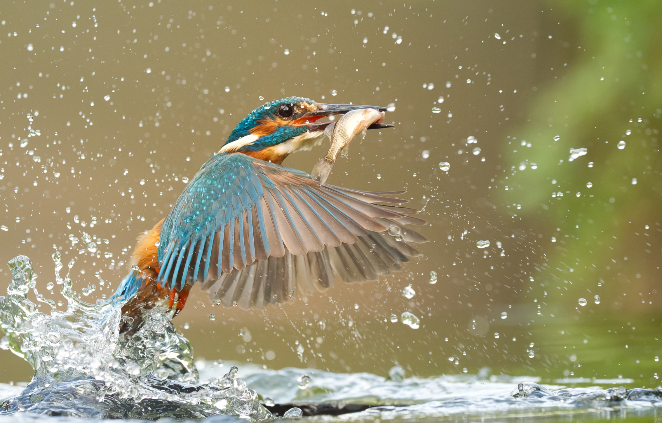 Photo of a kingfisher catching a fish