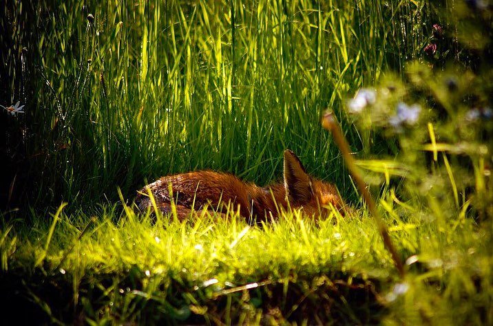 Photo of a fox sleeping amongst long grasses and wildflowers